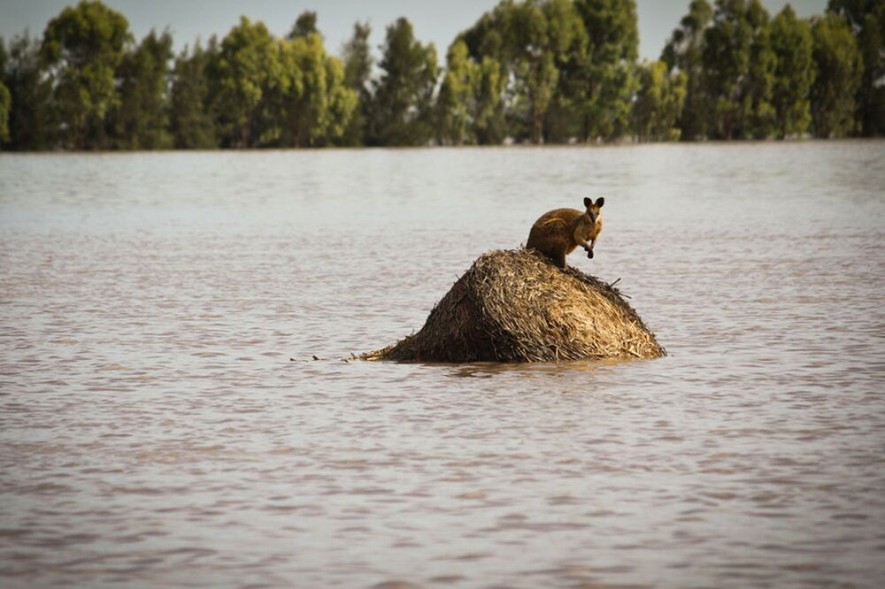 A wallaby stands on a large round hay bail trapped by rising flood waters outside the town of Dalby in Queensland, Australia.