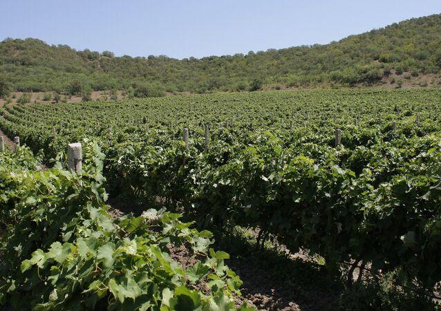 Vineyards in Crimea