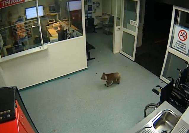 Inquisitive Koala Blinky Bill Explores Australian Hospital