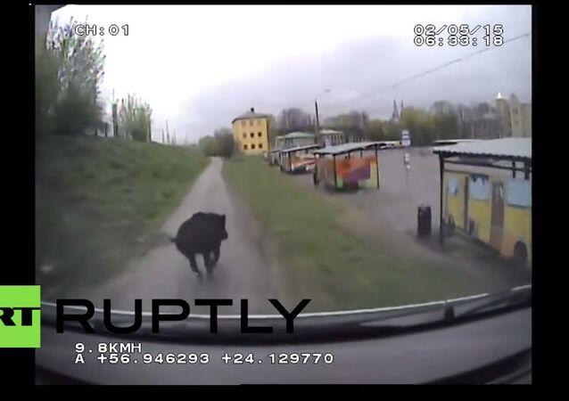Police hunting a boar