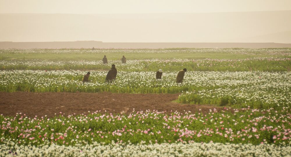 Opium production in Afghanistan has been surging for years despite all efforts to eradicate it, but this year mysterious high-yielding super seeds could create an even bigger crop - and more heroin on the market.