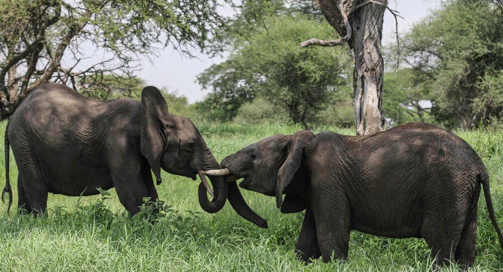 African elephants in northern Tanzania