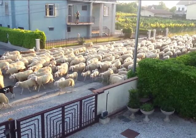Several sheep stopped to snack on my neighbor's hedge