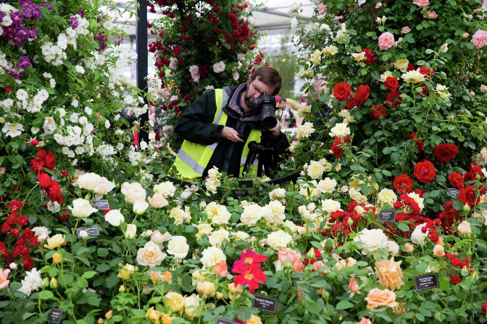 A photographer takes pictures of a display of roses at the 2015 Chelsea Flower Show in London.