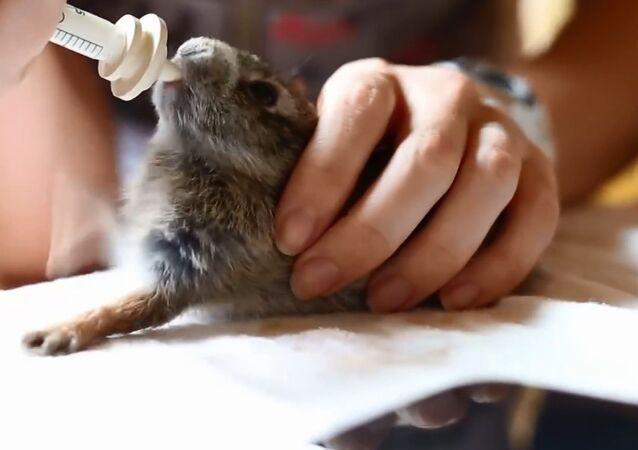 Cottontail Rabbit Enjoys His Milk