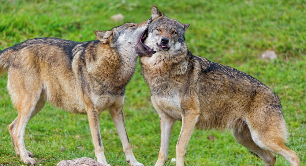 Wolves gently biting each other