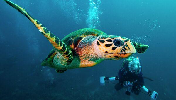Green turtle (Chelonia mydas) - Sputnik International
