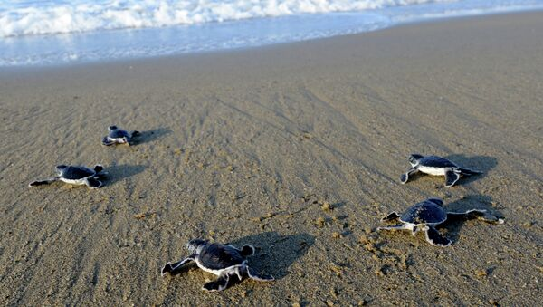This photograph taken on March 23, 2014 shows baby green turtles crawling to the sea - Sputnik International