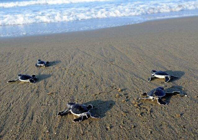 This photograph taken on March 23, 2014 shows baby green turtles crawling to the sea