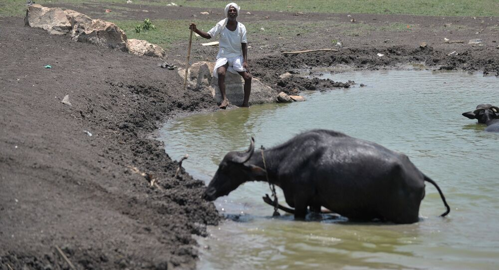An Indian man sits under the hot sun next to his cattle on the outskirts of Hyderabad on May 25, 2015