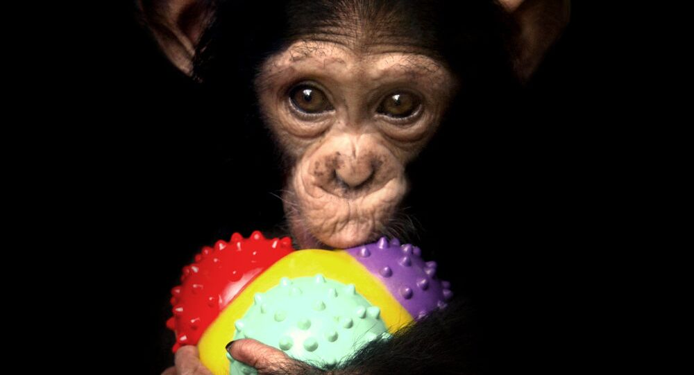 New York Chimps Get Their Day in Court in Personhood Case