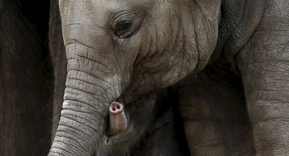 The trunk of a newborn Asian elephant is seen next to his mother Farina at Pairi Daiza wildlife park, a zoo and botanical garden in Brugelette, Belgium