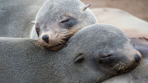Seals are pictured at the Cape Cross Seal Reserve, on May 12, 2015 along the Skeleton Coast - Sputnik International