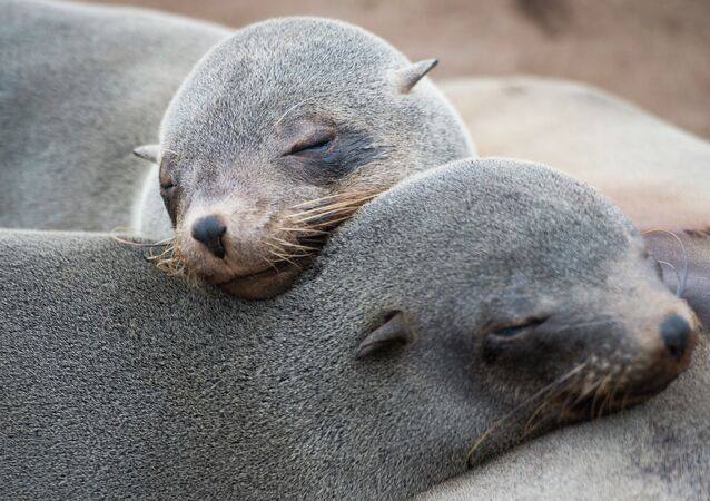 Seals are pictured at the Cape Cross Seal Reserve, on May 12, 2015 along the Skeleton Coast