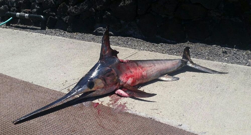 A courtesy photo of the swordfish that killed Randy Llanes, a Hawaii fisherman that was trying to reel it in