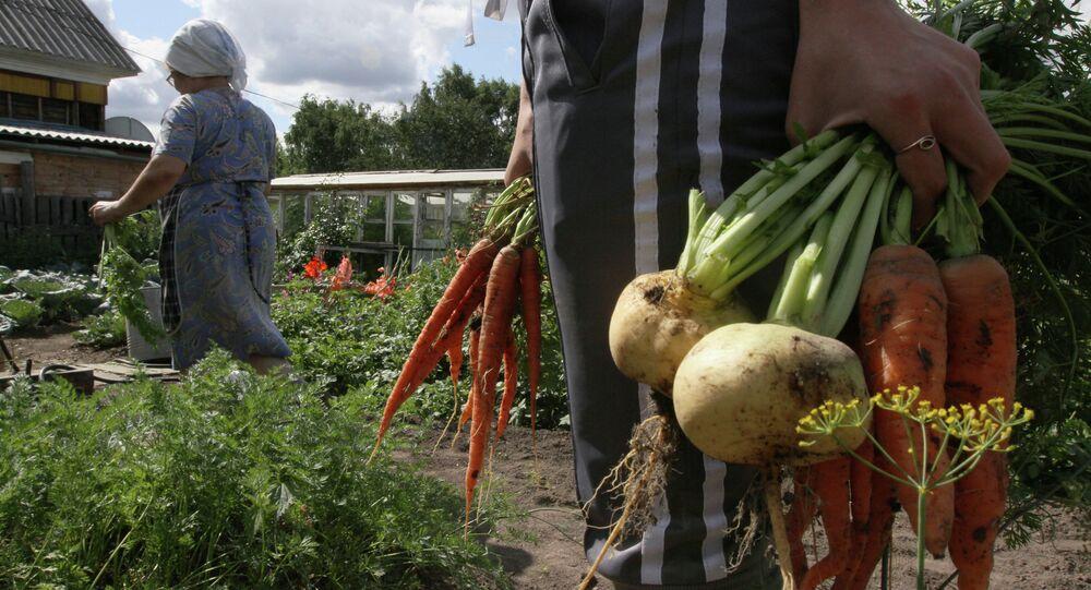 Harvesting on country sites in Omsk region