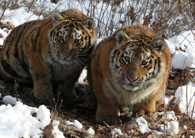Tigresses Amurochka and Taiga in an enclosure at Shkotovo safari park in Primorye