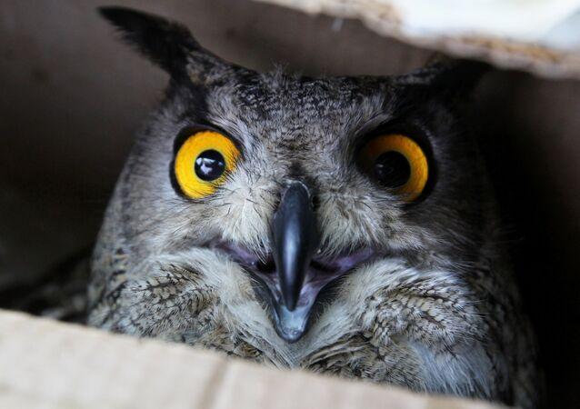An eagle-owl celebrates Bird Day at the Sad Gorod (Garden City) private zoo in Vladivostok