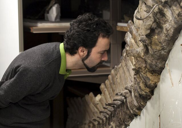 Sergio Bertazzo, a biomedical physical scientist at Imperial College in London, examines a fossil at Natural History Museum in London in this undated handout photo provided by Laurent Mekul, June 9, 2015