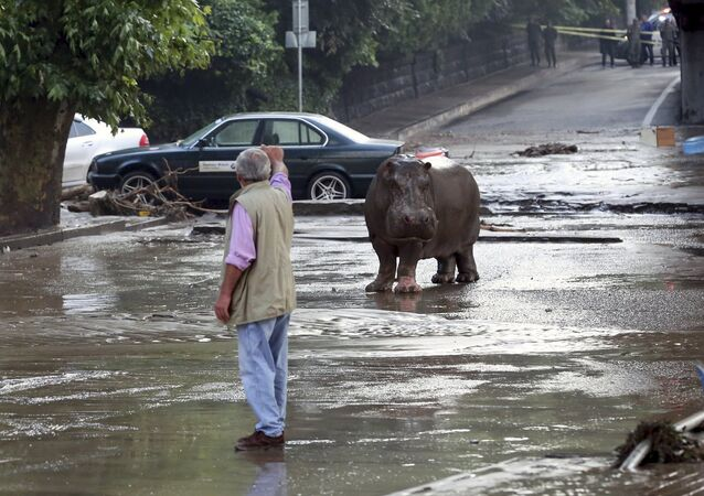 A man gestures to a hippopotamus at a flooded street in Tbilisi, Georgia, June 14, 2015
