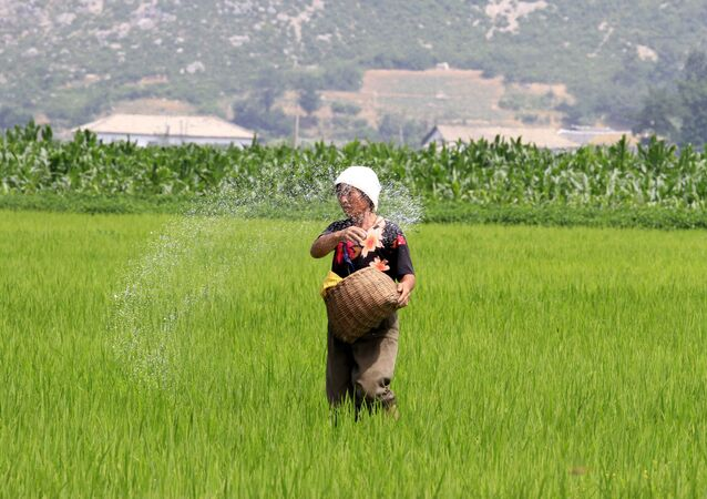 North Korean farmer spreads fertilizer in a rice field in Sohung County of North Hwanghae Province, North Korea
