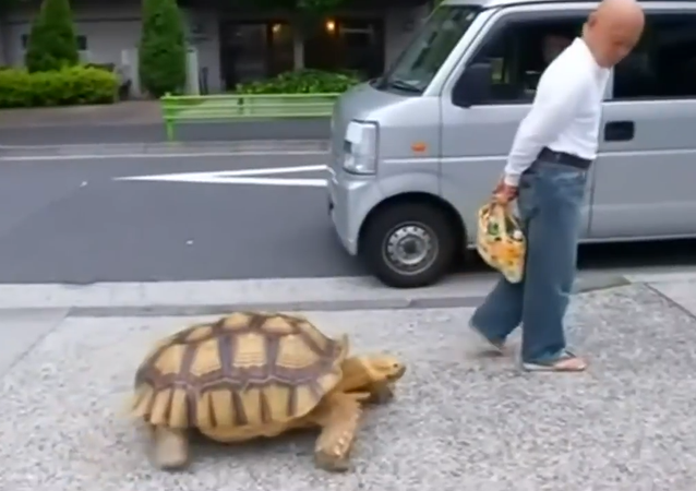 Tokyo man takes giant pet tortoise out for a stroll