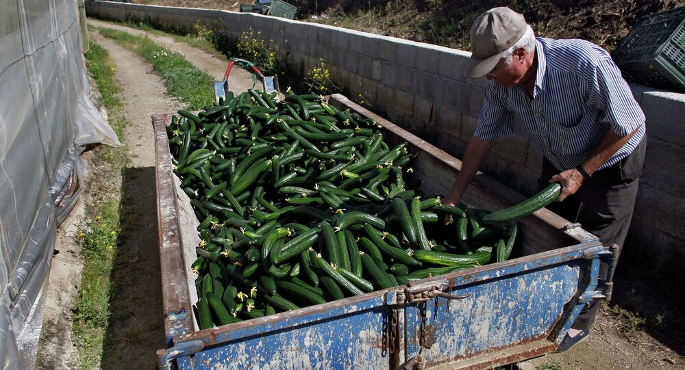A farm worker throws away cucumbers into a container outside of a greenhouse in Algarrobo, near Malaga, southern Spain, on Tuesday, May 31, 2011