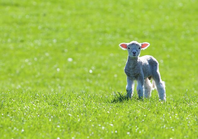A lamb genetically modified to contain a jellyfish protein was accidentally sold to a slaughterhouse in France.