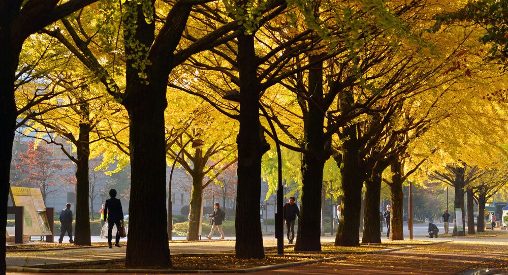 Pedestrians walk on a street lined with ginkgo trees on an autumn morning in Tokyo on November 16, 2013