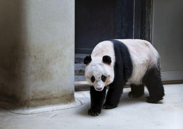 36-years-old giant panda Jia Jia, walks in her enclosure at the Hong Kong Ocean Park, China July 9, 2015