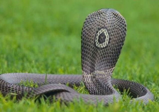 Cobra at Large in Austin After Killing Its Owner
