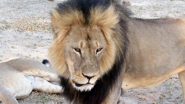 Africa's Most Beloved Lion Killed by Monster From Minnesota - Sputnik International