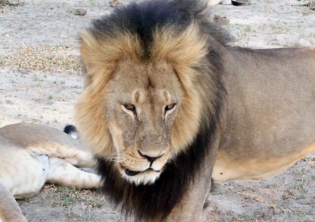 Africa's Most Beloved Lion Killed by Monster From Minnesota