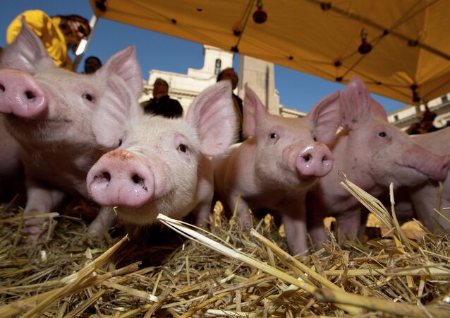 Piglets snuffle around in the hay in front of the Italian parliament in Rome