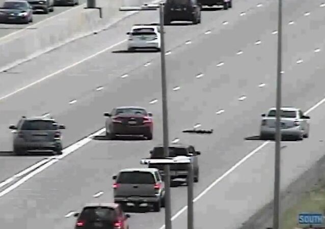 Drivers Swerve For Ducklings On Minnesota Highway