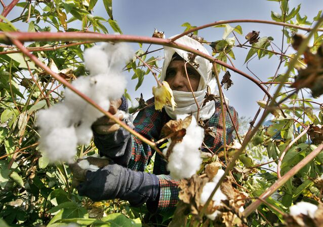 An Egyptian farmer collects the cotton harvest at a farm in al-Massara village near the Nile delta city of Mansura, 130 kms north of Cairo, on September 22, 2009