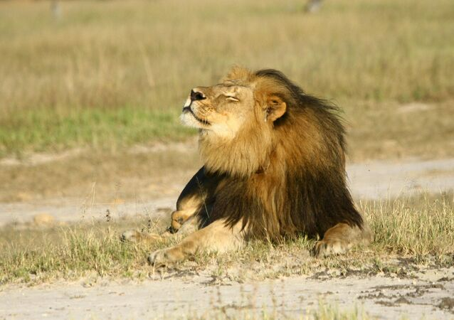 Cecil the lion is seen at Hwange National Parks in this undated handout picture received July 31, 2015