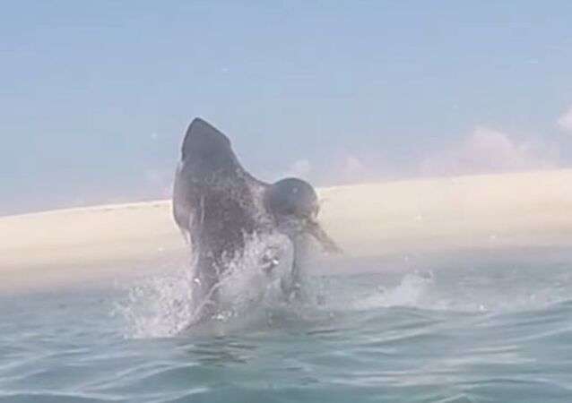 Great White Jumps Out of Water Chasing Seal