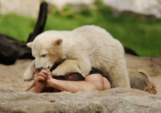 Polar bear Knut