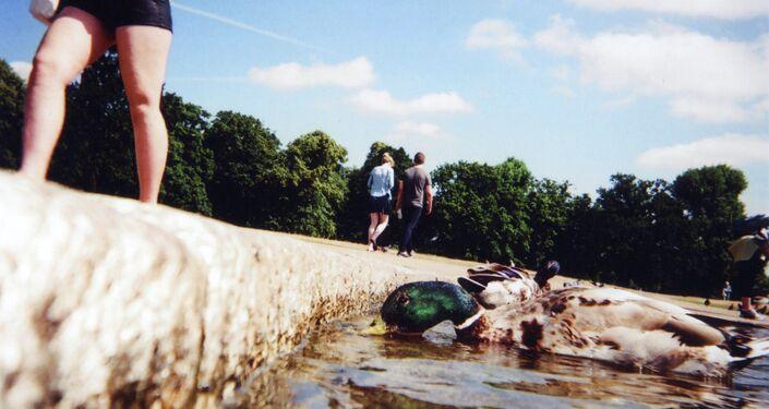 Ducks, Hyde Park