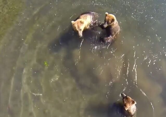 Russia: Photographer locks himself in cage to get close to bears, drone footage included