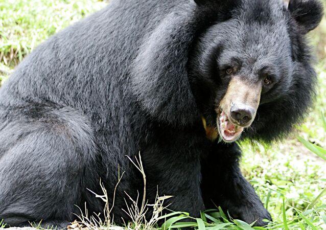Himalayan black bear