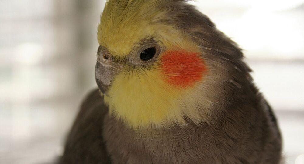 A pet cockatiel