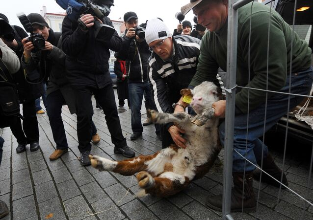 Two of some 500 Estonian farmers hold a calf during a protest in front of the Estonian Parliament in the center of Tallinn (file)