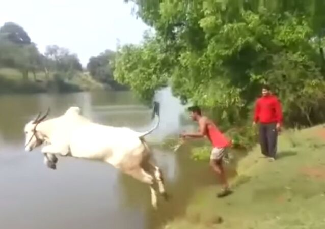 Bull Giving Diving Lessons ? Indian Guy Jumps In Water With His Cow