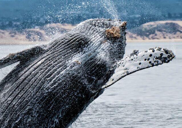 Humpback Whale near Monterey Bay Area in Northern California.