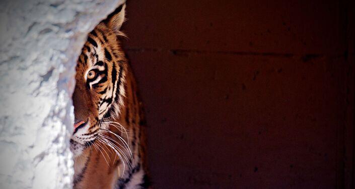 Amur tiger in a German zoo