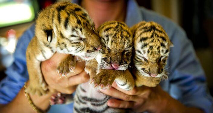Три амурских тигренка, рожденные в голландском цирке Renaissance в городе Лейден
