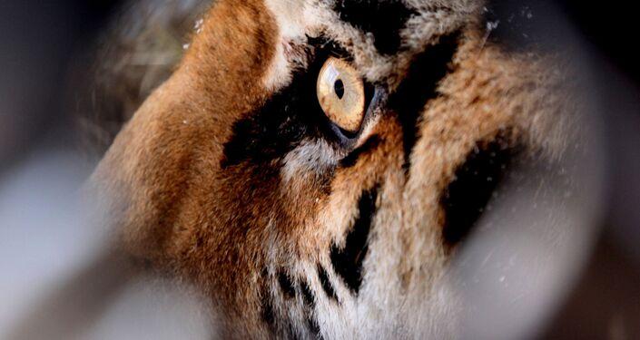 Тигр в сафари-парке в Шкотовском районе Приморья