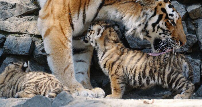 Amur tigress with her cubs at Novosibirsk Zoo
